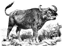drawing of a cape buffalo