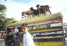 goats on top of a bus