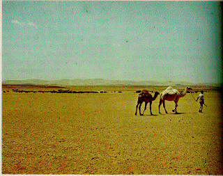 Person and two camels in a desert